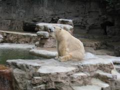 Ísbjörn í dýragarðinum í  St.Louis